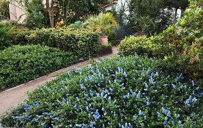 Blue California native plants in front yard along walkway