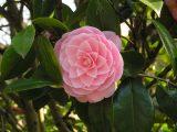 camellia flower closeup