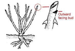 Outward Facing Bud pruning diagram of rose stem
