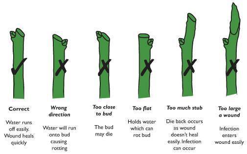 Rose Stem Pruning Chart to do and not to do