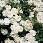White Iceberg Roses on shrub